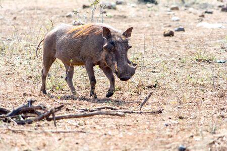 Warthog at Kruger National Park in South Africa