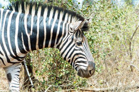 Zebra Kruger National Park in South Africa Stock Photo