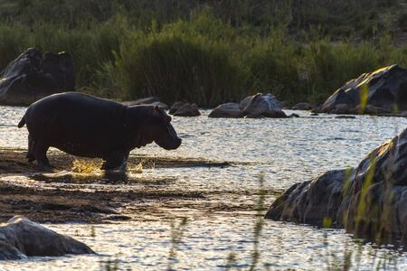 Hippopotamus in the River in greater Kruger National Park in South Africa