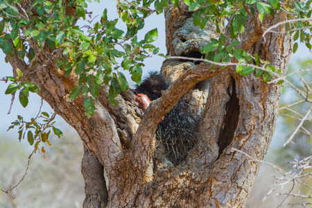 brush tailed: Leopard kill porcupine on tree in Kruger National Park in South Africa