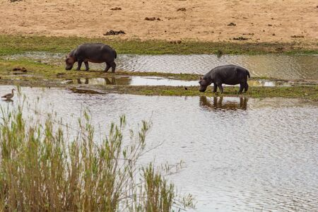 zimbabwe: Hippopotamus in Kruger National Park in South Africa
