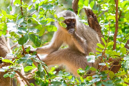 Apes in Kruger National Park in South Africa