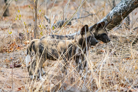 Wild Dogs in Kruger National Park, South Africa Stock Photo