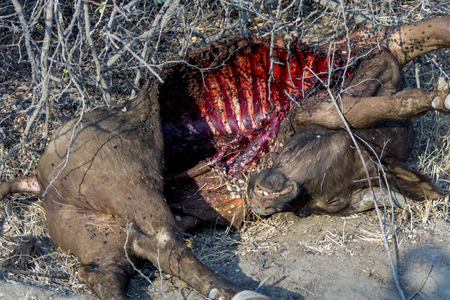 bird eating raptors: Buffalo carcass in Greater Kruger National Park in South Africa Stock Photo