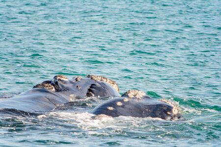 breaching: Southern Right Whale in Hermanus in South Africa Stock Photo