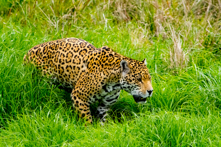 Jaguar sneaks through the high grass Reklamní fotografie