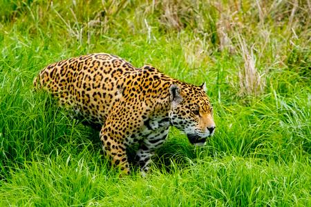 Jaguar sneaks through the high grass Stock fotó
