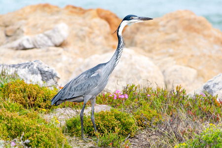 Endangered blue crane at coast of Hermanus Stock Photo