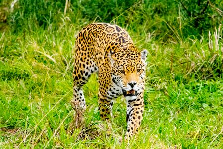 Jaguar sneaks through the high grass Stock Photo