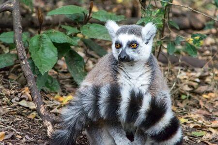 Closeup of Lemur  Maki apes in forrest