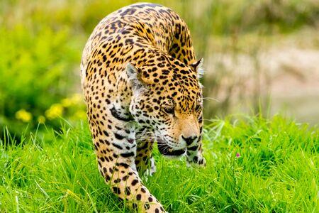 sneaks: Jaguar sneaks through the high grass Stock Photo