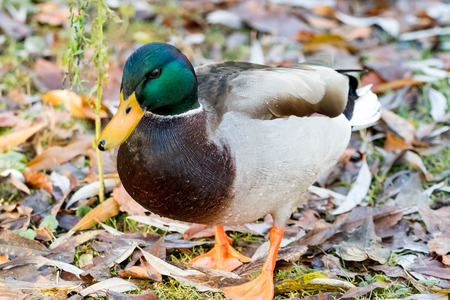 Male duck at the lake in winter Time
