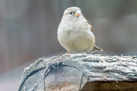 Sparrow sitting on a piece of wood with blurred background