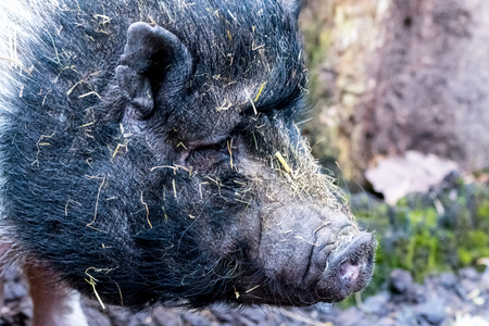pot bellied: portraiture on an pot bellied pig on blurry backgound