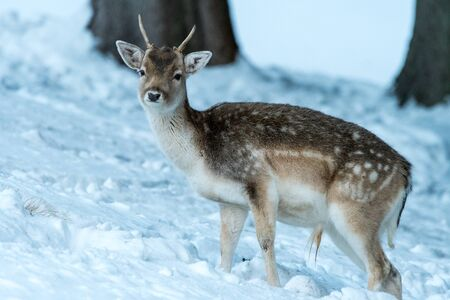 Sika deer with blurry backgound in wild nature of forrest in winter time