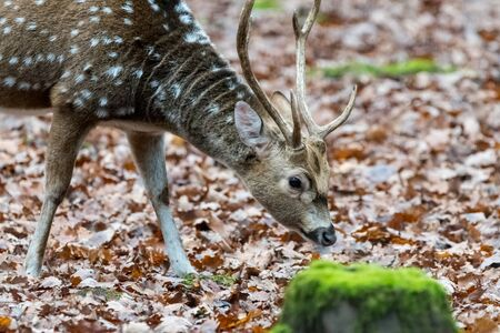 Sika deer with blurry backgound in wild nature of forrest