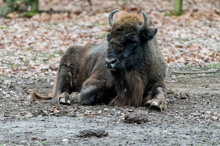 oklahoma: Bison sitting on the ground with leafs in the Background