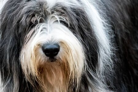 portraiture of an old english sheepdog