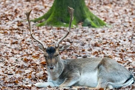 Deer in the forrest in autumnwinter time with brown leafes green grass and blurry background Stock Photo