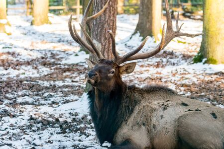 ruminants: Deer in forrest in autumnwinter time with brown leafes, snow and blurry background