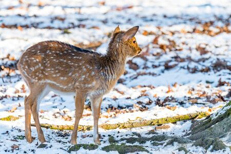 Sika deer with snow in blurry backgound in the wild nature