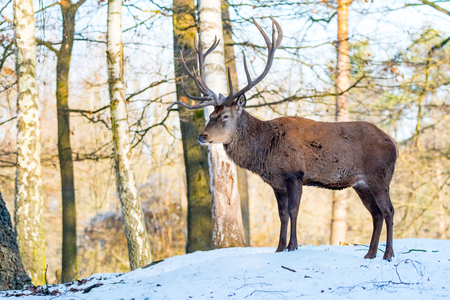 Deer in forrest in autumnwinter time with brown leafes, snow and blurry background