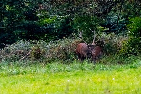 Deer during rutting season in the forrest