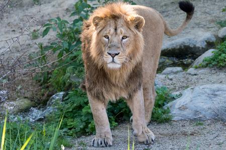 Big male lion walking through his territory