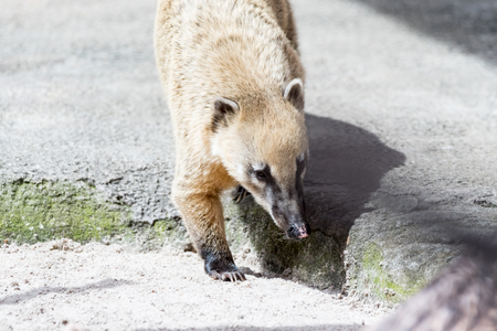 Coati searching for food in his area