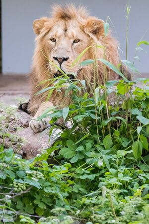 Big male lion walking through his territory