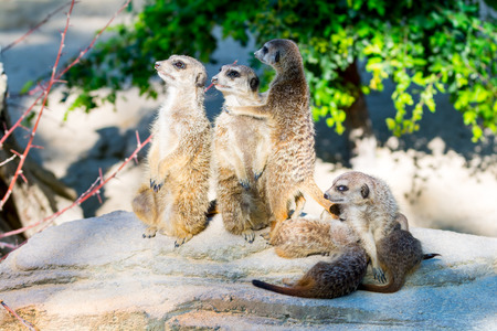 Family of merkats watching Stock Photo