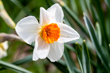 narcissus growing in early spring on the meadow