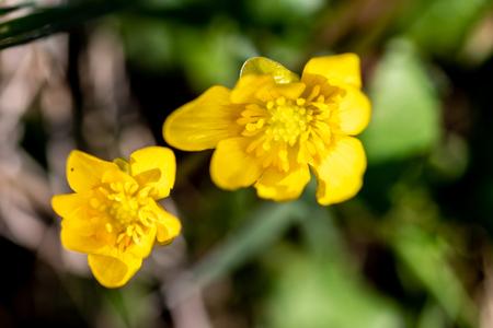 Buttercup growing on a green meadow Reklamní fotografie