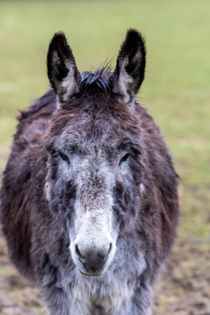 Portraiture of a donkey on a green background