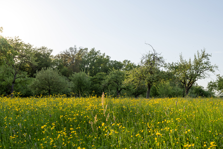 meadow orchards in the late spring time in Germny