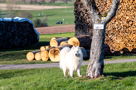 White dog in front of a wood stack