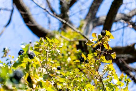 Black berries growing on a big tree
