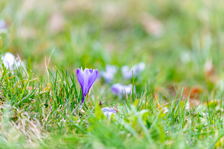 Crocus blossoms in the spring time in Germany Reklamní fotografie