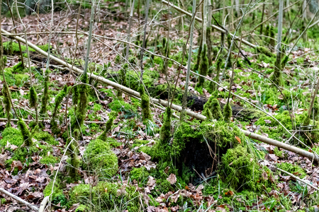 moss overgrown forrest in spring time