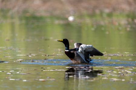 mallard Duck taking off at the lake