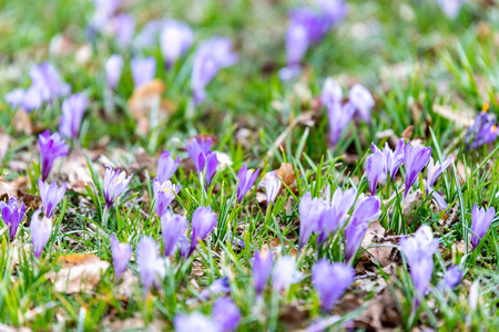 Crocus blossoms in the spring time in Germany Reklamní fotografie