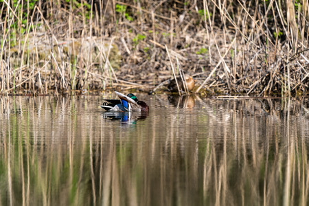 mallard Duck is swimming on a lake Reklamní fotografie - 107712048