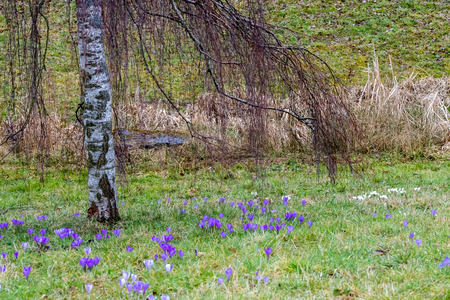 Crocus blossoms in the spring time in Germany Stock fotó
