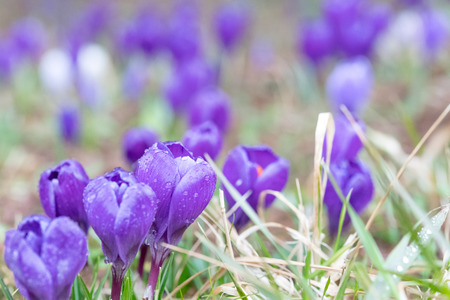Crocus blossoms in spring time in Germany Stock fotó