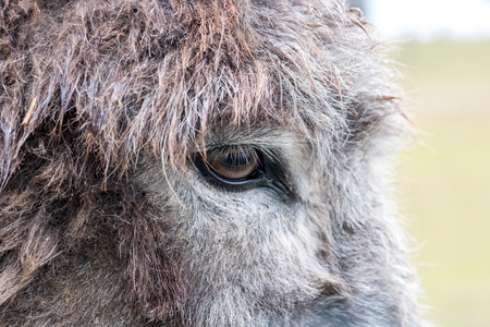 Detail / closeup of the eye of a grey donkey Reklamní fotografie