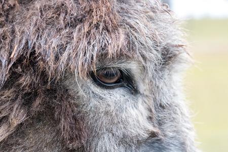 Detail / closeup of the eye of a grey donkey Stock fotó