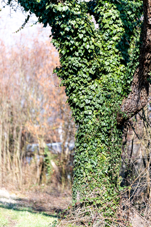 Tree overgrown with ivy in spring time Stock fotó