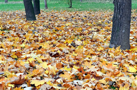 Autumnal scene of dried leaves fallen from tree photo