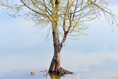 increased: Flooded tree after heavy rainfall and increased level of the lake