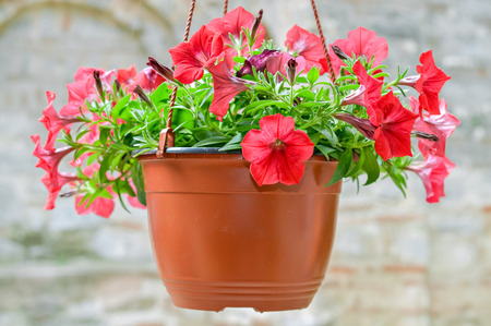 hanging basket: Beautiful decorative red flowers potted in hanging basket Stock Photo